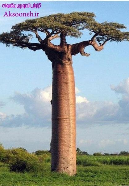 عکس های دیدنی از درخت عجیب باوباب_ Baobab tree